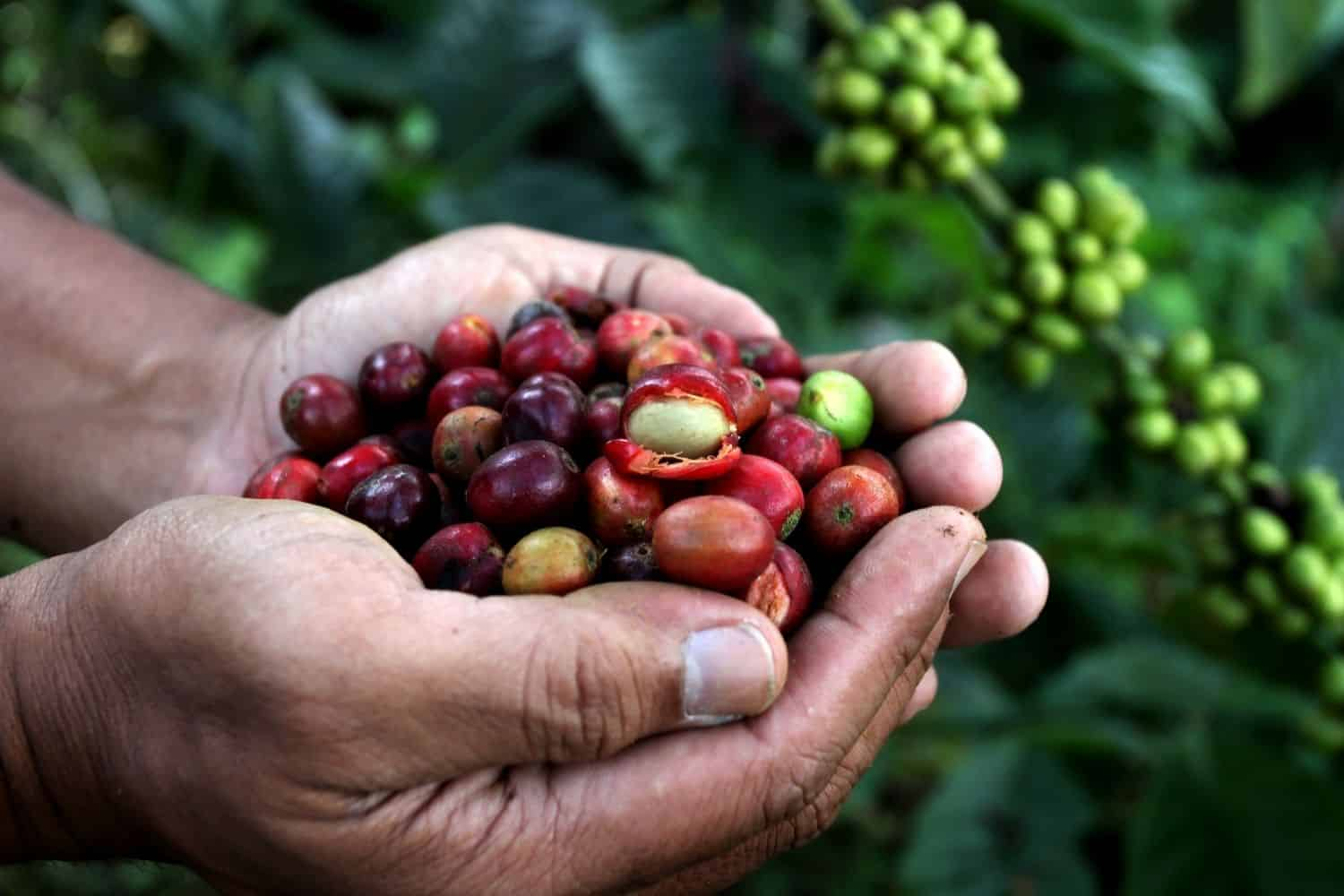man holding coffee cherries in his palm.